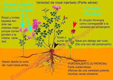 Cómo distinguir brotes basales rosales
