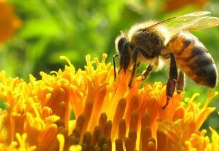 Las abejas (y el ser humano) sí están en peligro