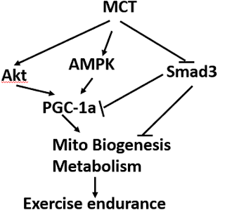 Artículo comentado: Los triglicéridos de cadena media mejoran la resistencia al ejercicio a través del aumento de la biogénesis y el metabolismo mitocondrial