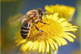 Se confirma un gran riesgo para las abejas