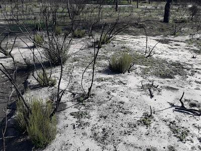 El Lince ibérico vuelve a la zona afectada por el incendio de Doñana - The Iberian Lynx returns to the area affected by the Doñana forest fire.