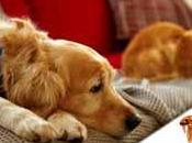 Cómo matar pulgas casa, perros gatos