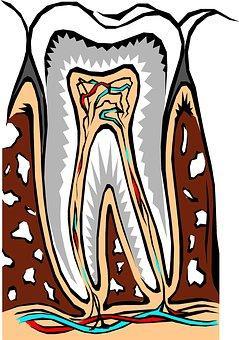 Tooth Cross Section Dental Dentist Dentist