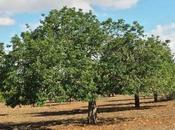 Planta Medicinal Algarrobo