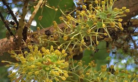 fotos Algarrobo frutos