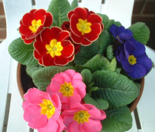 http://www.auriculas.org.uk/pictures/Primula_Polyanthus.jpg
