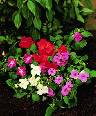 http://www.elnougarden.com/plantas/semillas/flores/alegria-de-casa/image_preview