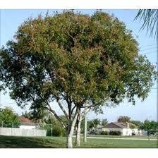 Flor y árbol nacional de República Dominicana, Caoba