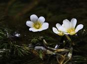 Ortiga agua (Cabomba caroliniana)
