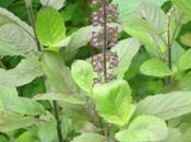 Insecticidal effects Ocimum sanctum var. cubensis essential diseases vector Chrysomya putoria
