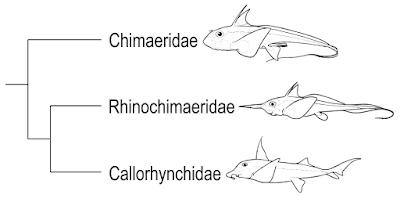 Las quimeras descienden de tiburones