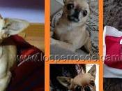 Chihuahua robada