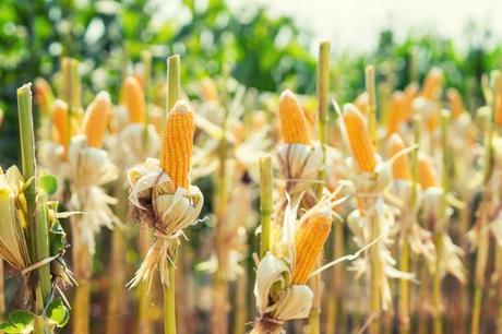 Resultado de imagen de maiz