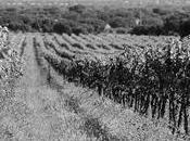 Graciano, potente aromática para vinos máxima calidad