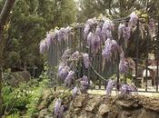 Wisteria chinensis (Glicinia) flor!