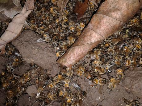Apicultores huilenses en alerta por mortandad de colmenas