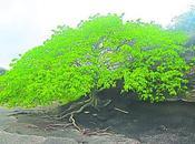 Manzanilla muerte: árbol peligroso mundo.