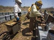 Traficantes abejas