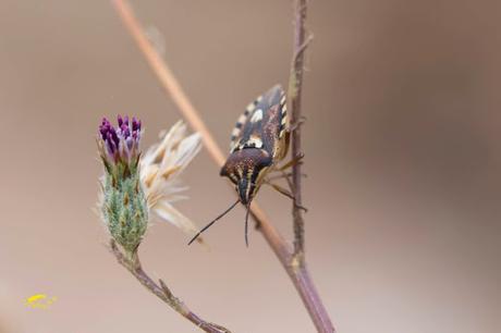 Codophila varia
