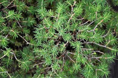Bosque de Piceas , Un pequeño gran bosque .