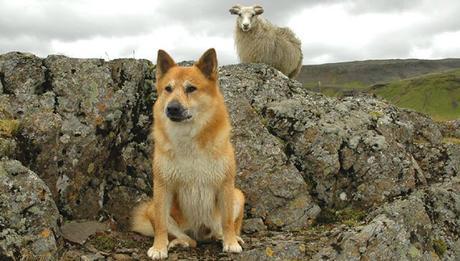 Islandia y los perros: El Pastor Islandés