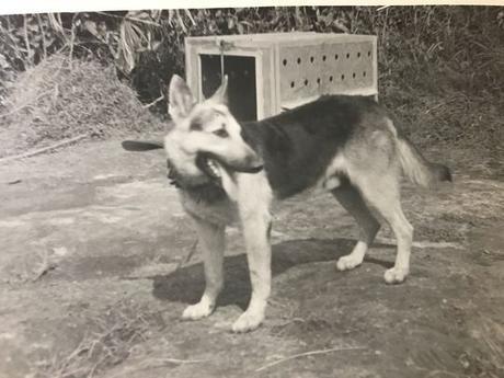 Satanás, un pastor alemán entrenado como perro explorador en