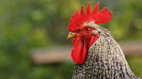 Por primera vez logran cruzar células humanas con embriones de pollo