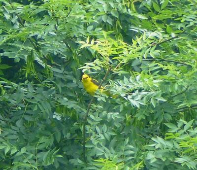 El ave de oro
