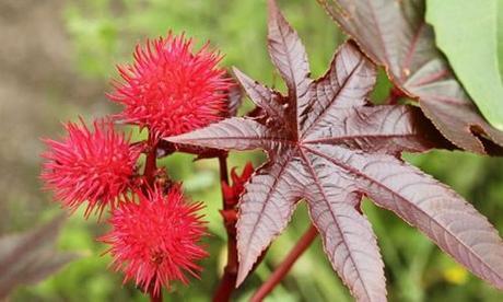 fotos planta Ricinus