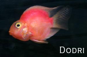 Se siguen creando monstruos: el caso del pez Parrot