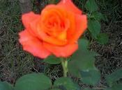 Cuidado rosal
