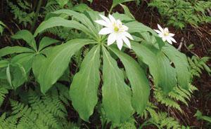Paris Japonica: La planta con el mayor genoma conocido.