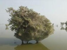 Millones arañas plagan árboles Pakistán