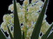 Flor Nacional Salvador, Izote