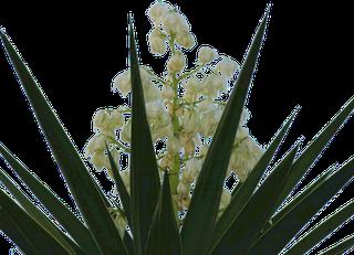 Flor Nacional de El Salvador, Flor de Izote