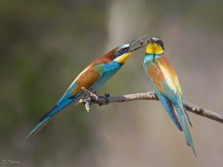 Fotonatura XX: El abejaruco, tan amado como odiado