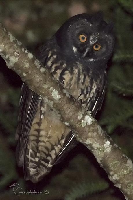Lechuzón Negruzco (Stygian Owl) Asio stygius