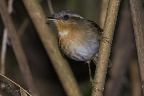 Chupadientes (Rufous Gnateater) Conopophaga lineata