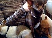 Celebridades Chihuahuas: Demi moore Ashton kutcher