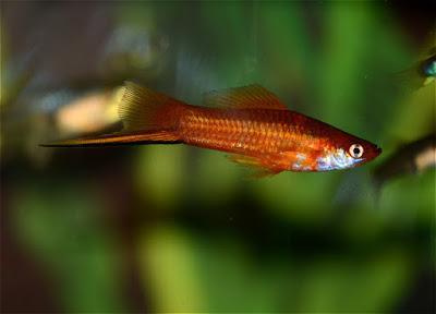 Peces introducidos en los medio acuáticos de Canarias