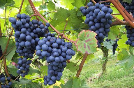 Alemania, País de los Amantes del Vino y los Placeres Culinarios