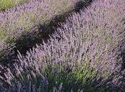 color púrpura invade campos Brihuega