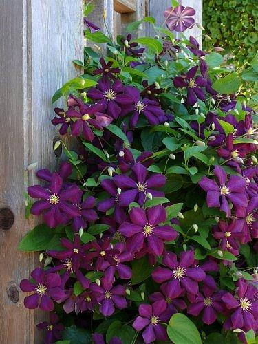 Shades of Purple - Clematis (June 13, 2008)