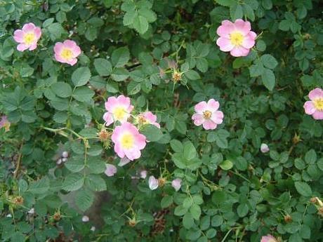 Rosa Eglanteria Sweet Briar Rose