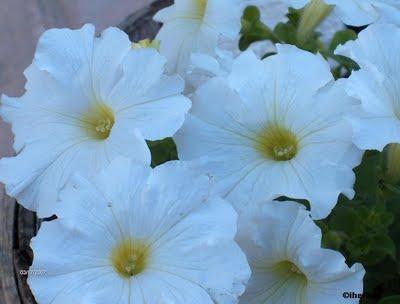 Petunias paperblog - Calibrachoa perenne ...