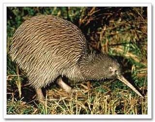 La conservación del pájaro kiwi en santuarios