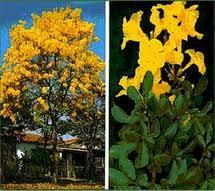 Brasil, Árbol y Flor Nacional, Ipê