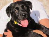 Labradora meses sufrido mucho peque, nuevo caso maltrato animal. (Huelva)