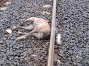Galga decapitada tren, nadie investiga siquiera recogen cuerpo, hace semana (Imagenes fuertes)