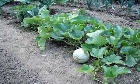 Fotos melones planta